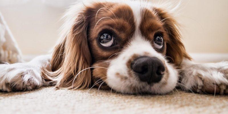 blue monday hond die zielig kijkt
